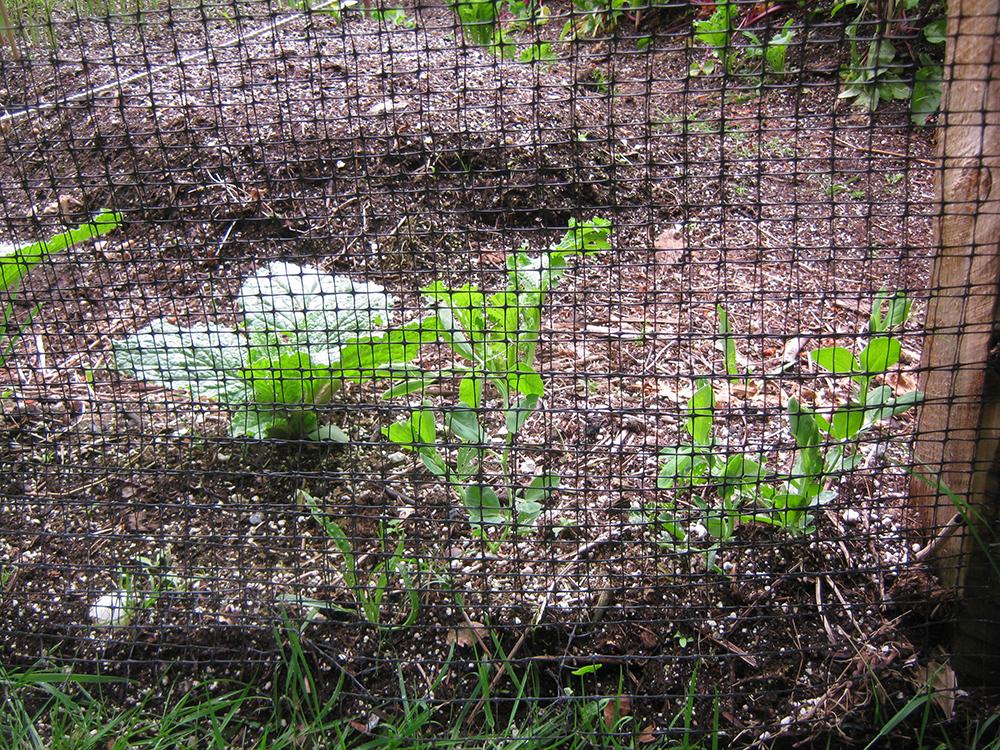 sweet peas and deer fence
