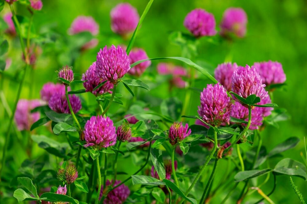 clover nitrogen fixer cover crop
