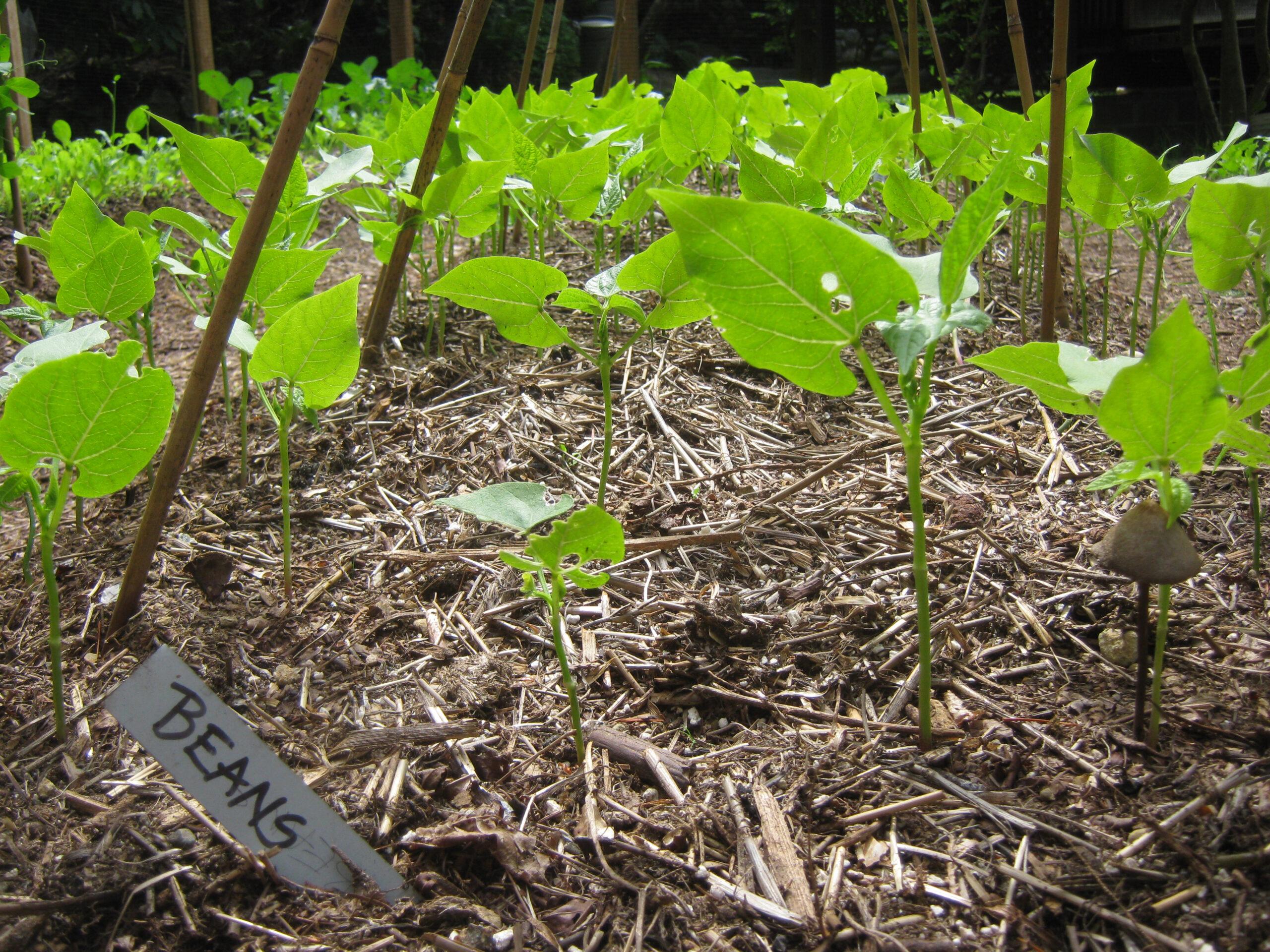 Black Turtle Beans seedlings