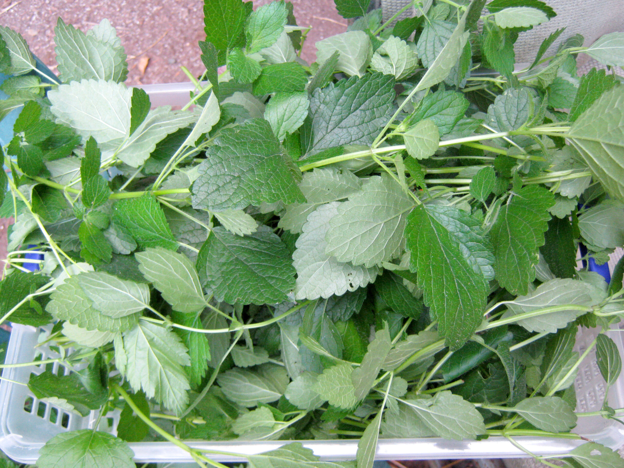 Harvesting lemon balm for drying