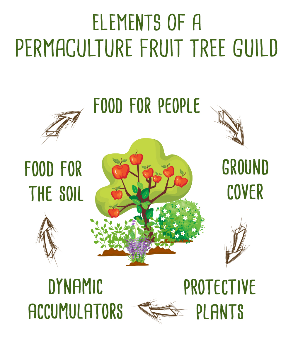 permaculture fruit tree guilds