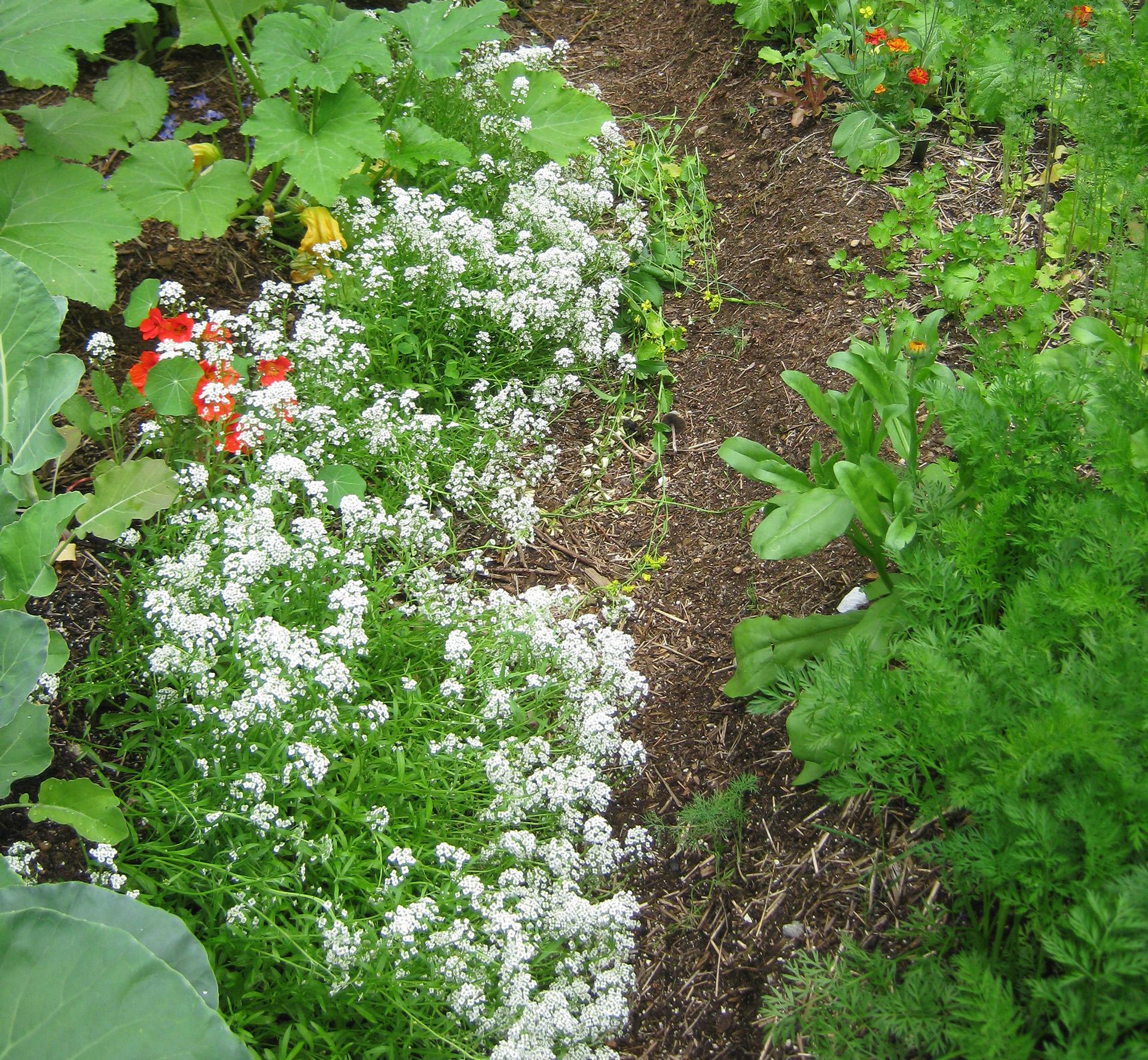 Sweet alyssum in the garden