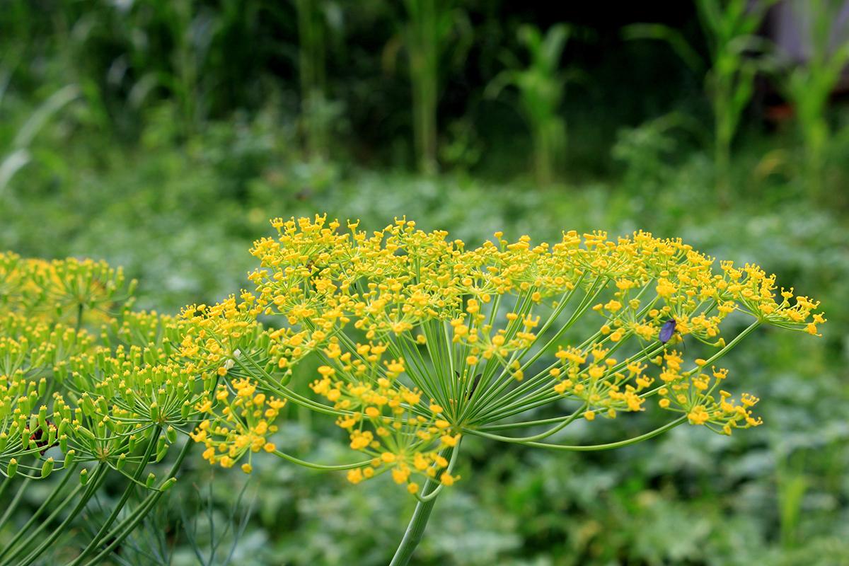 Dill in flower