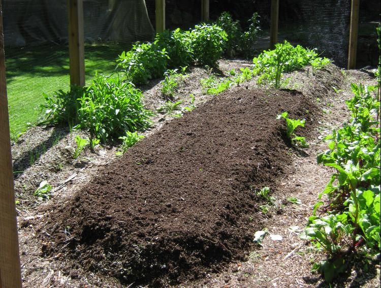 garden update - planting beans