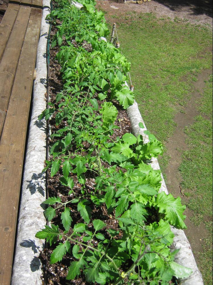 Garden update - tomatoes